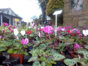 Add some colour with Winter Bedding Plants